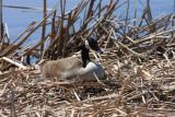 Canada Goose - Branta canadensis (on a nest)