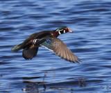 Wood Duck - Aix sponsa