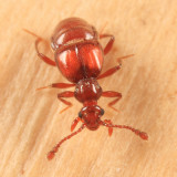 Brachygluta abdominalis (female)