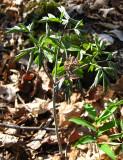 Blue Cohosh - Caulophyllum thalictroides