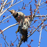 Northern Flickers - Colaptes auratus