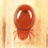 Oribatida - Mixonomata - Euphthiracaroidea - Oribotritiidae - Oribotritia sp.