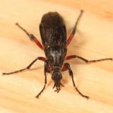 Bibio femoratus