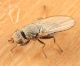 Flies - Tethinidae