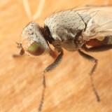 Tethinidae - Tethina parvula