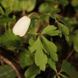 Wood Anemone - Anemone quinquefolia