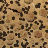 Lasallia papulosa (Toadskin Lichen)