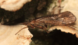 Limnephilus moestus?