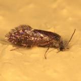 0005 - Purplish Birch-miner Moth - Eriocrania semipurpurella