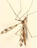 Tipula sp. - subgenus Pterelachisus