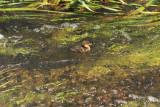 baby duckling