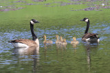 Ganada Goose family - Branta canadensis