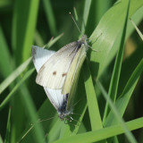 Cabbage Whites - Pieris rapae