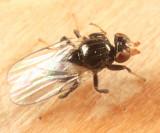 Chaetochlorops inquilinus