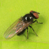 Lance Flies - Lonchaeidae