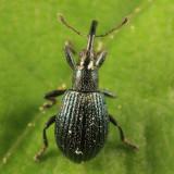 White Clover Weevil - Ischnopterapion virens