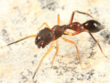 Synemosyna formica
