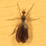 Rhamphomyia sp. (subgenus Pararhamphomyia)