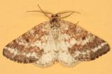 6639 - Eufidonia discospilata