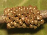 7730 - Buck Moth - Hemileuca maia (eggs)