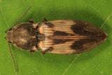 Pseudanostirus hieroglyphicus