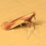 0641 - Caloptilia superbifrontella
