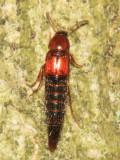 Tachyporinae - Mycetoporini