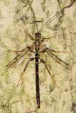 Giant Ichneumon - Megarhyssa macrurus