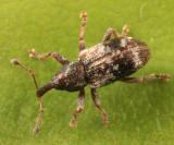Proctorus decipiens