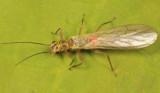 Sweltsa naica