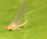 Ephemerella dorothea