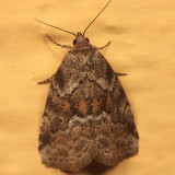 9038 - White-lined Graylet - Hyperstrotia villificans