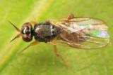 Elachiptera costata