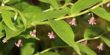 Rosybells - Streptopus roseus