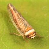 Colladonus brunneus