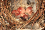 House Wren (nest with eggs) - Troglodytes aedon