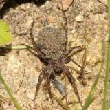 Wolf Spider (carrying young on her back)