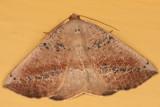 6806 - Tacparia atropunctata