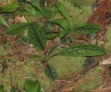 Rattlesnake Weed - Hieracium venosum