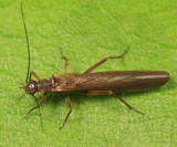 Rolled-winged Stoneflies - Leuctridae
