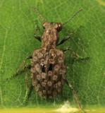 Elaphrus ruscarius