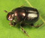 Onthophagus orpheus