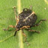 Mononychus vulpeculus