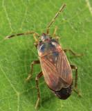 Cryphula trimaculata