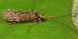 Tube Maker Caddisflies - Polycentropodidae