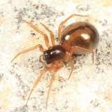 Grammonota pictilis (female)
