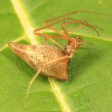 Neospintharus trigonum (female)