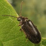 Contacyphon ruficollis