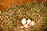 Black-capped Chickadee (nest) - Poecile atricapillus