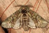 7990 - White-blotched Heterocampa - Heterocampa umbrata